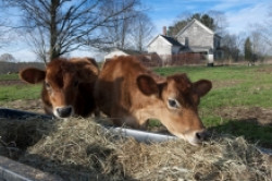 Two Cows Eating Hay
